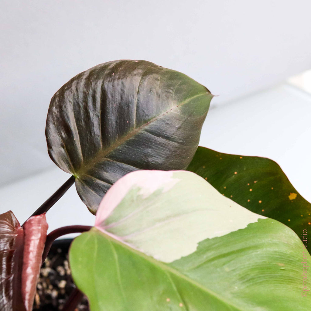 High Variegation Philodendron Pink Princess