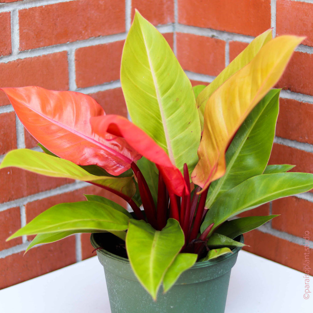 8in Philodendron 'Prince of Orange'
