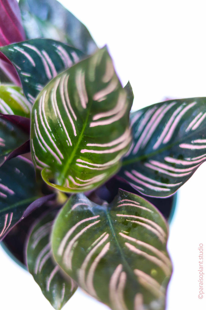 4in Calathea Ornata