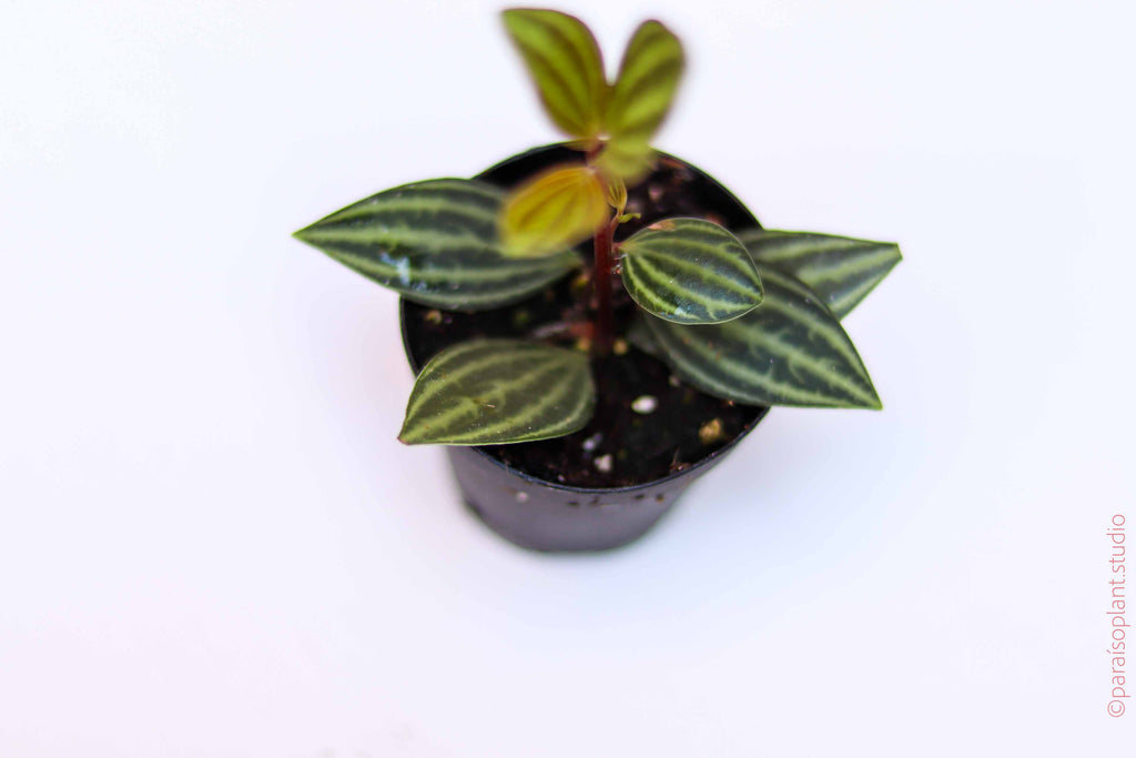 2in Peperomia Parallel