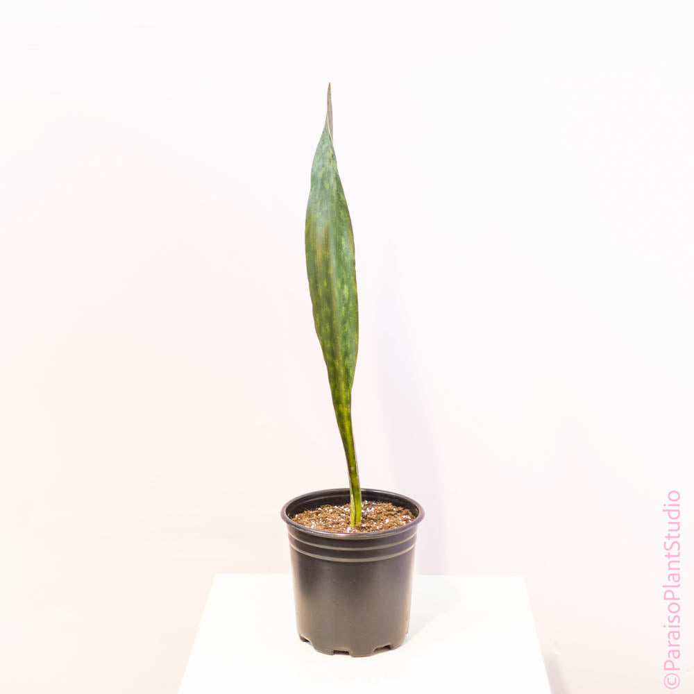 10in Sansevieria Whale Fin