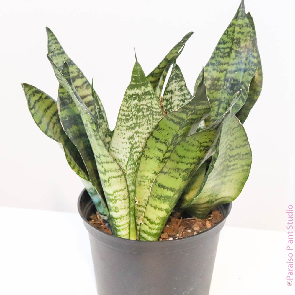 6in Sansevieria Black Coral