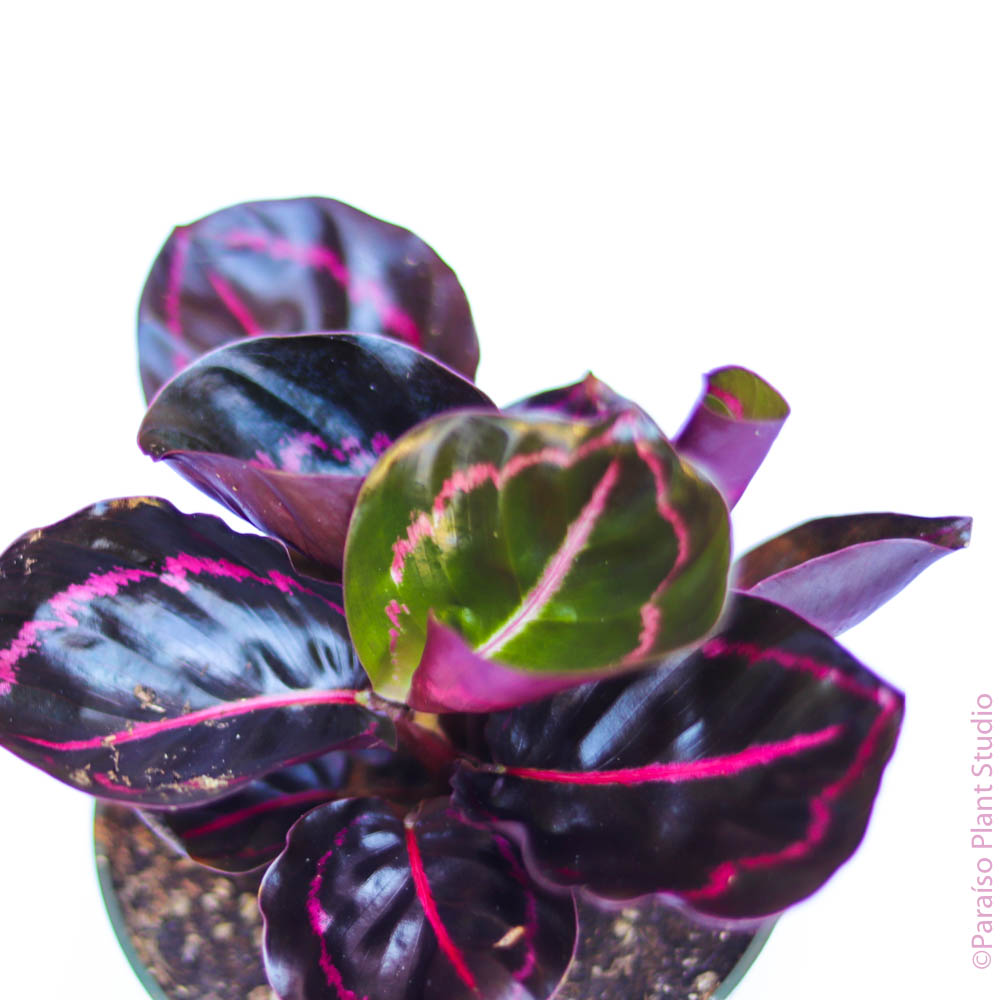 4in Calathea Dottie
