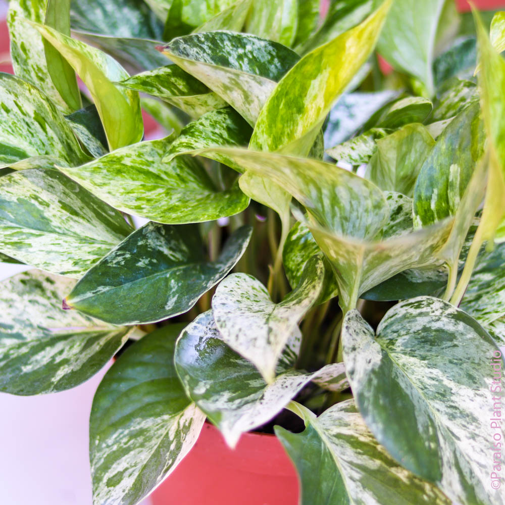 6in Marble Queen Pothos