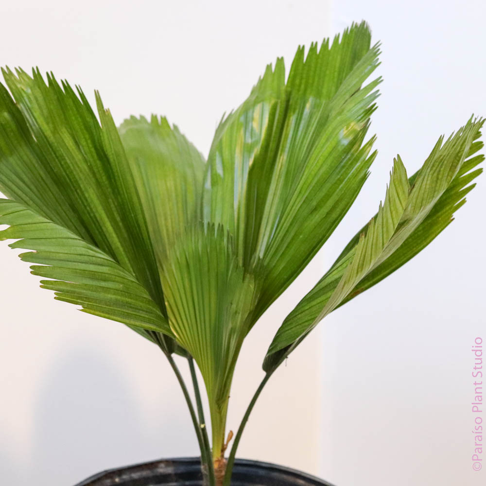 10in Licuala Grandis 'Ruffled Fan Palm