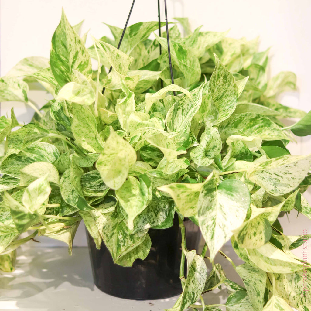 8in Marble Queen Pothos