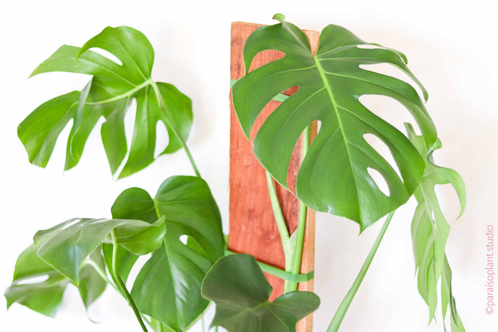 10in Monstera on Slab
