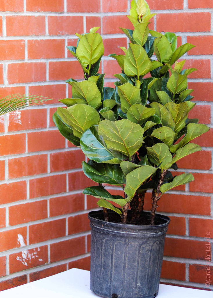 "10in Ficus Lyrata ""Little Fiddle"" Column"