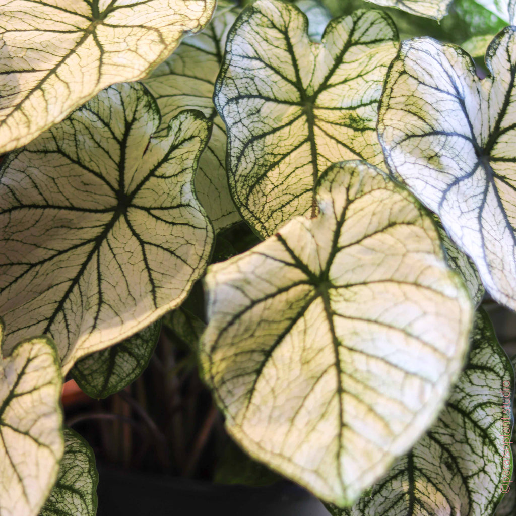 8in Caladium White