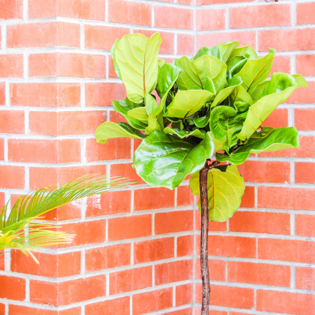 "10in Ficus Lyrata ""Fiddle Leaf Fig"" Standard"