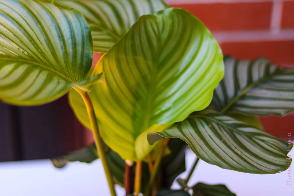 6in Calathea Orbifolia