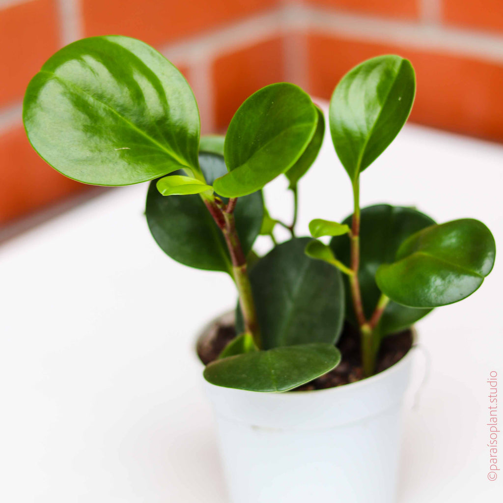 4in Peperomia Obtusifolia Green