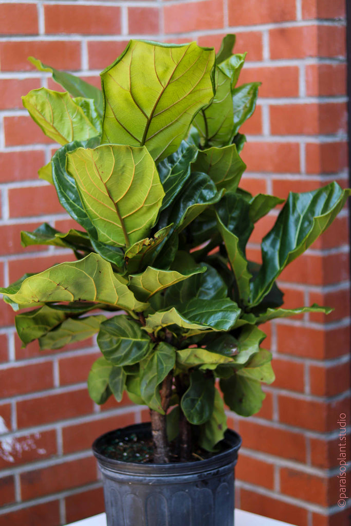 "10in Ficus Lyrata ""Fiddle Leaf Fig"" Bush"