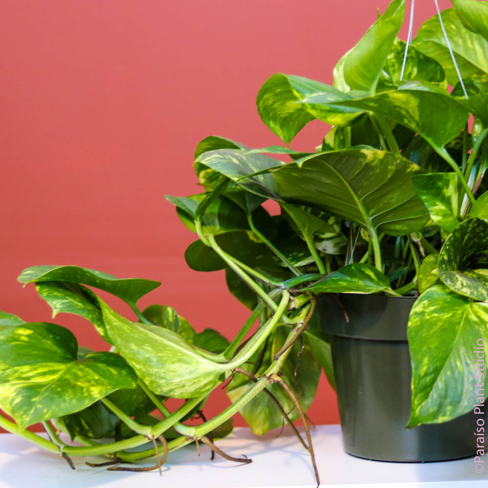 8in Golden Pothos