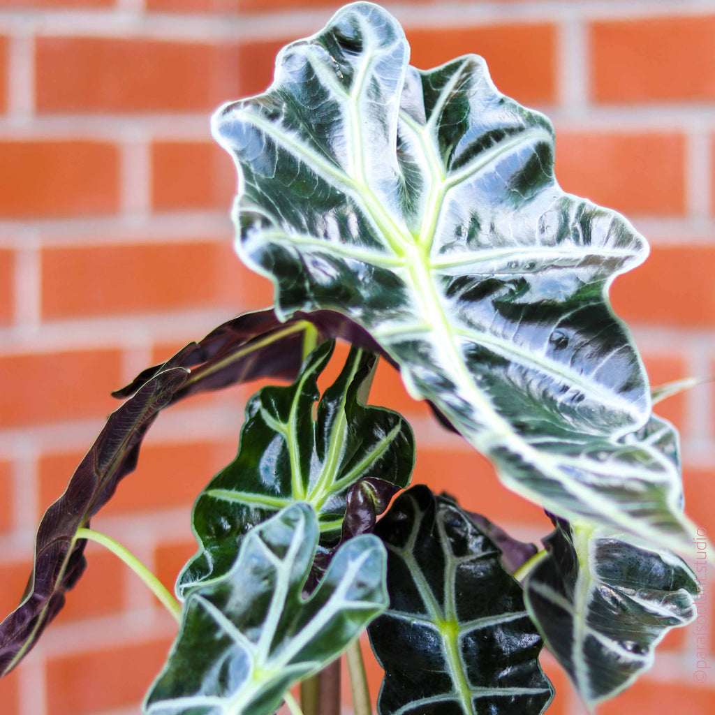 6in Alocasia 'African Mask'