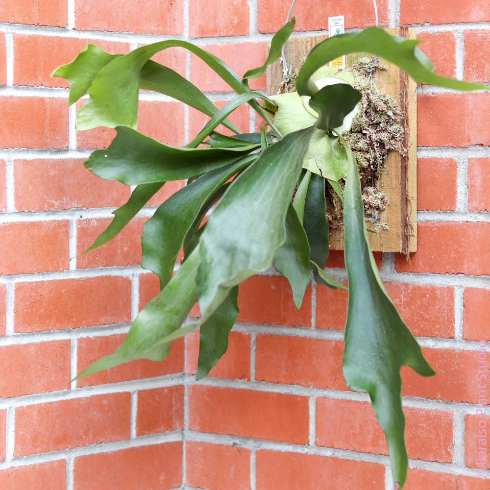 Large Mounted Staghorn Fern