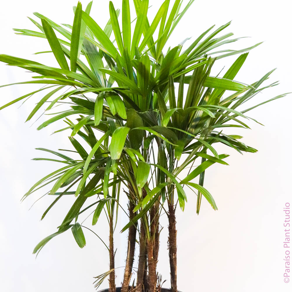 10in Rhapis Florida Palm