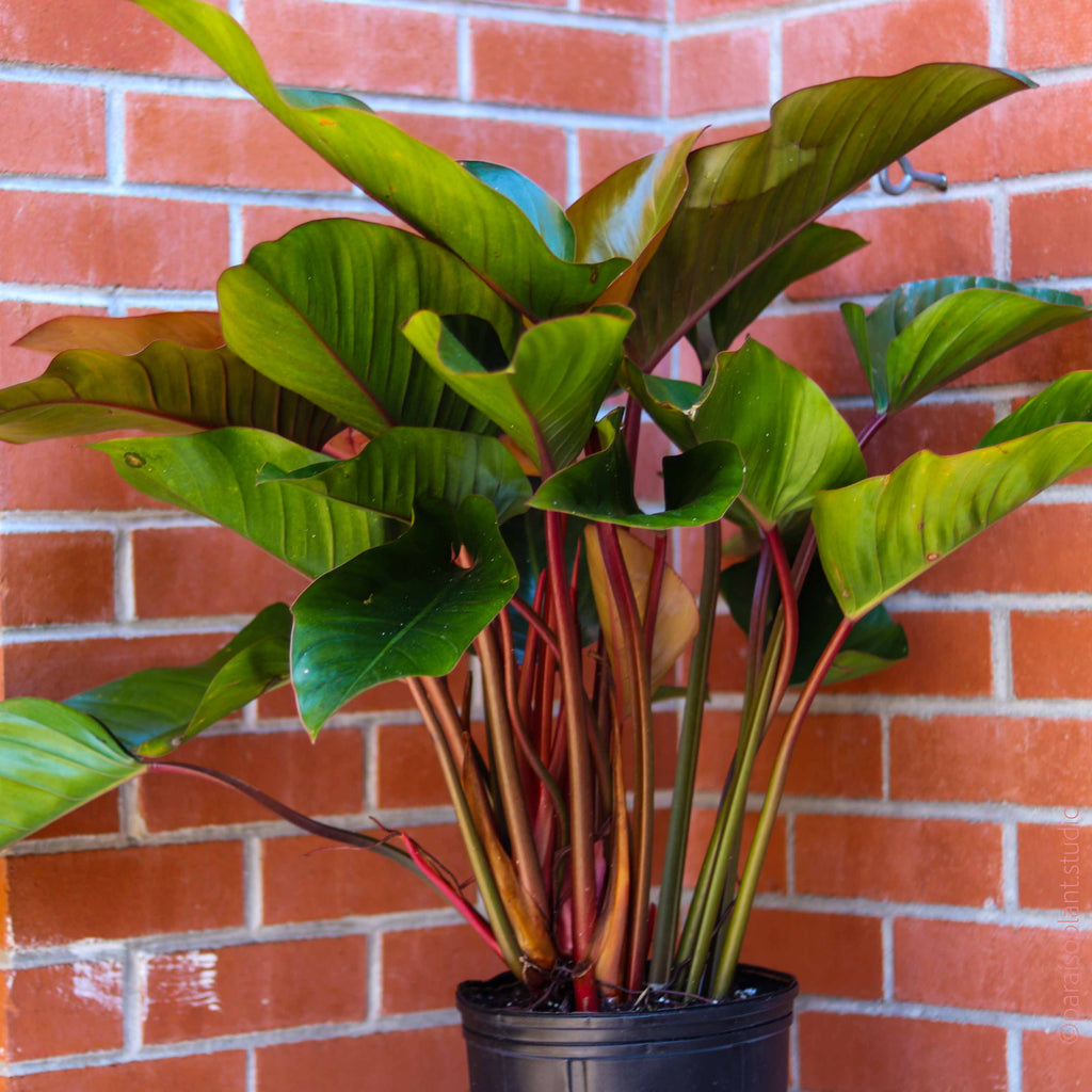 10in Philodendron Congo Rojo