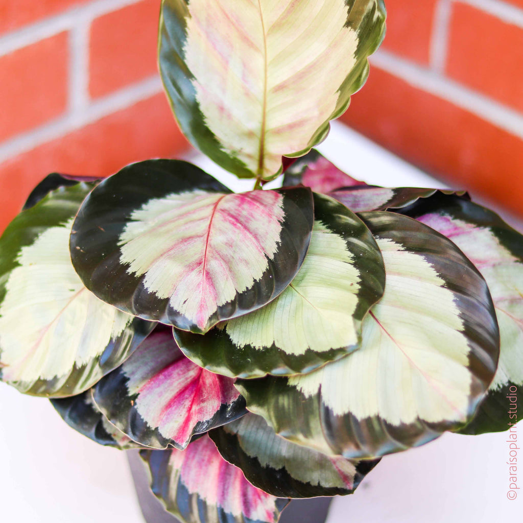 6in Calathea Rosea Picta 'Corona'