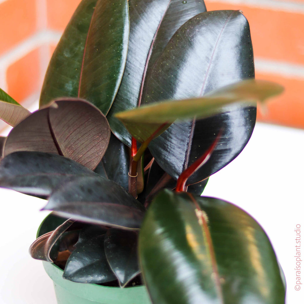 6in Ficus Elastica Burgundy