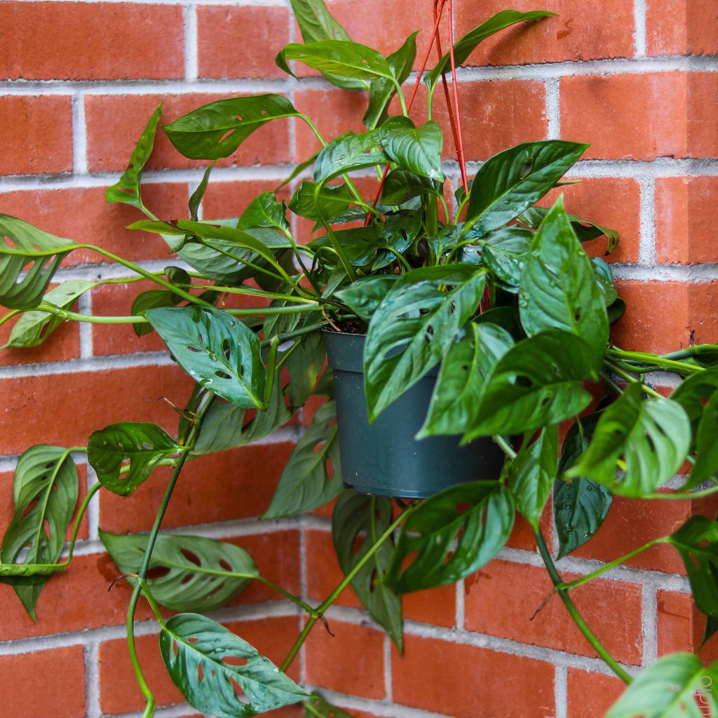 6in Philodendron Swiss Cheese