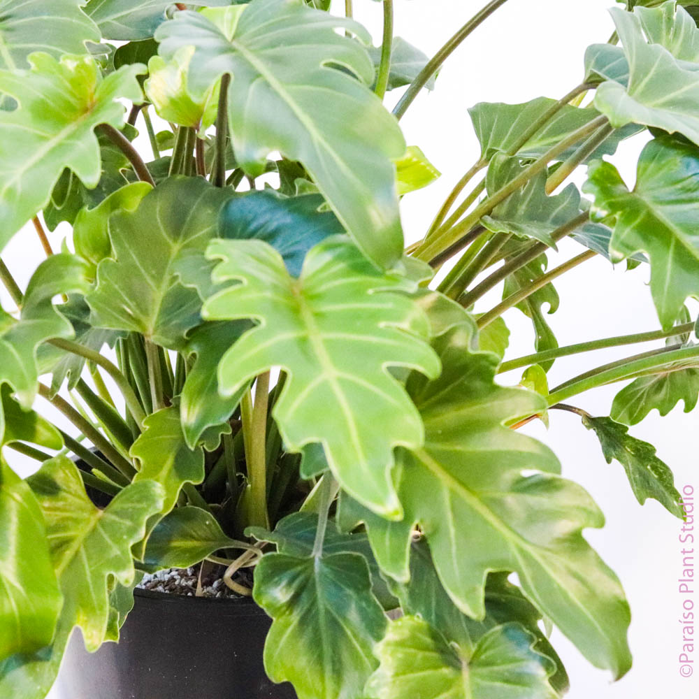 10in Philodendron Xanadu