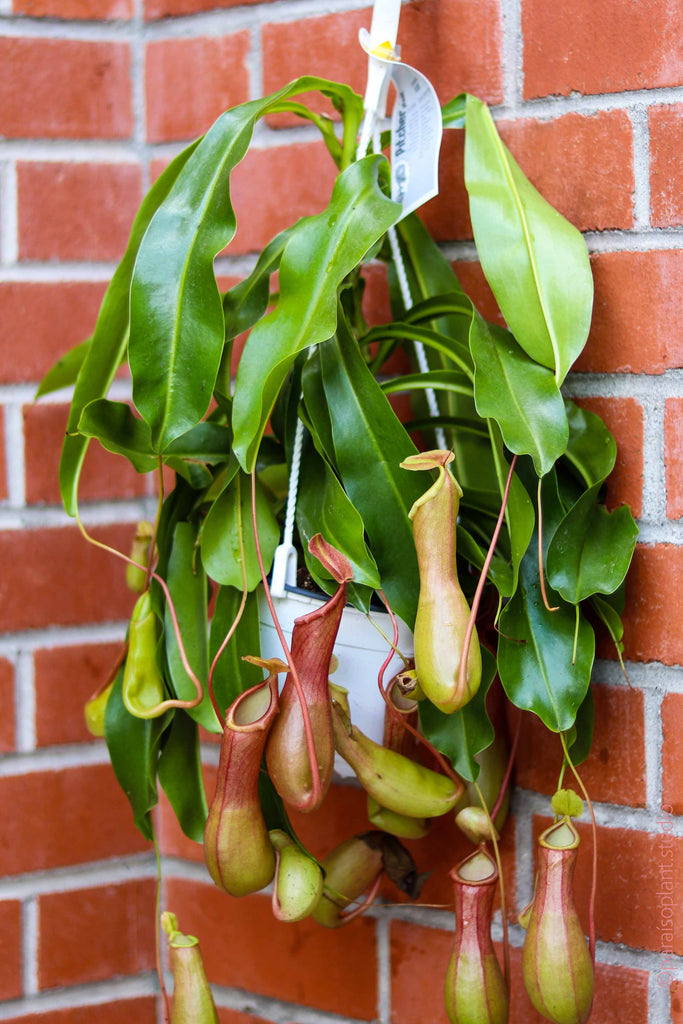 6in Nepenthes Pitcher Plant