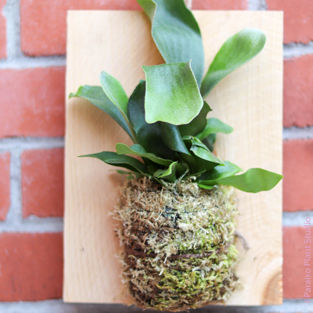 Small Mounted Staghorn Fern