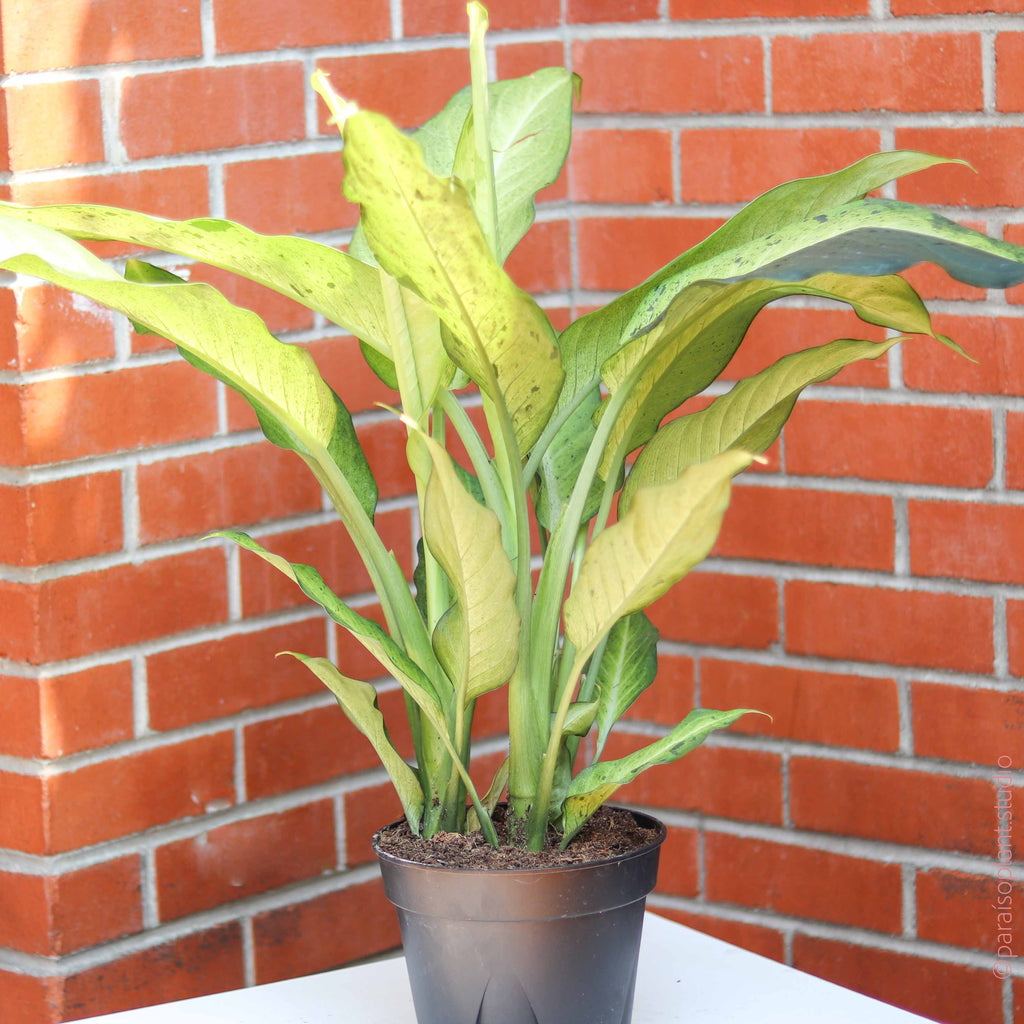 8in Dieffenbachia Camouflage