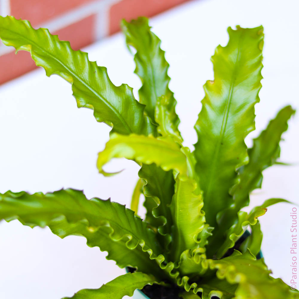 6in Japanese 'Bird's Nest Fern' Asplenium Nidus