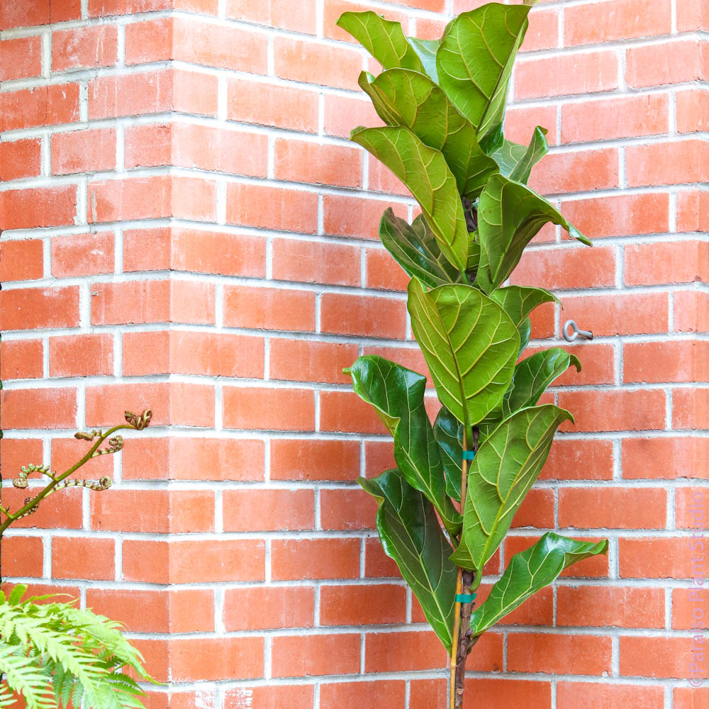 "10in 6ft Ficus Lyrata ""Fiddle Leaf Fig"" Standard"