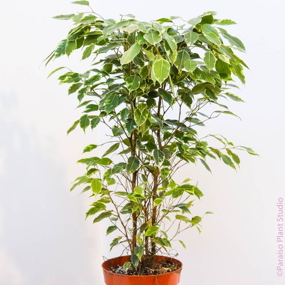8in Variegated Ficus Benjamina