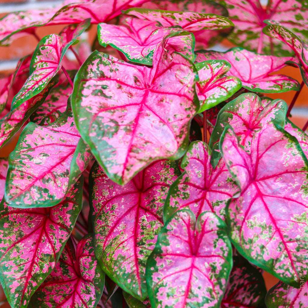 8in Caladium 'Pink Beauty'