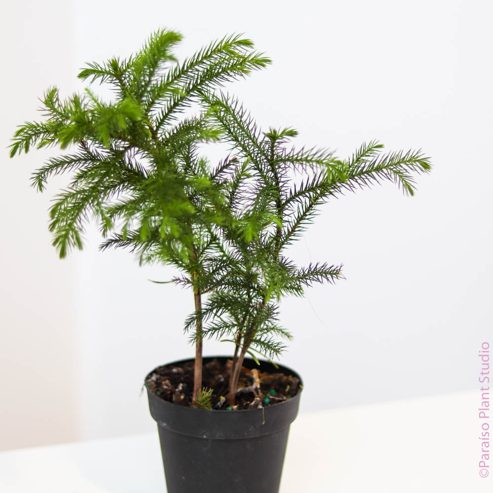 4in Norfolk Island Pine