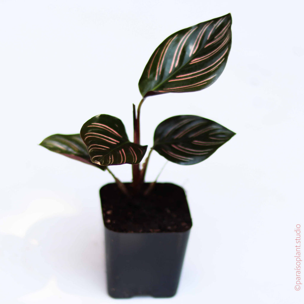2in Calathea Ornata