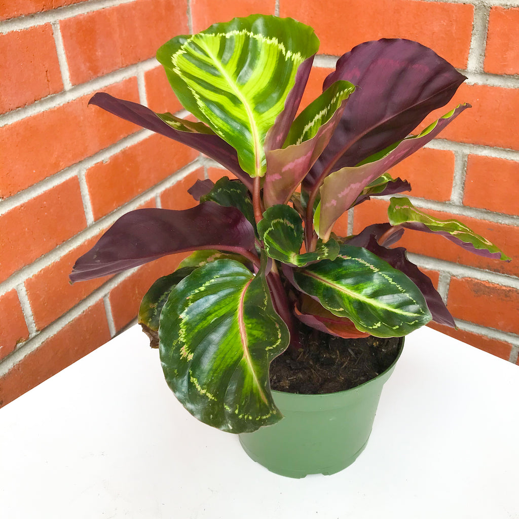 6in Calathea Jungle Cat