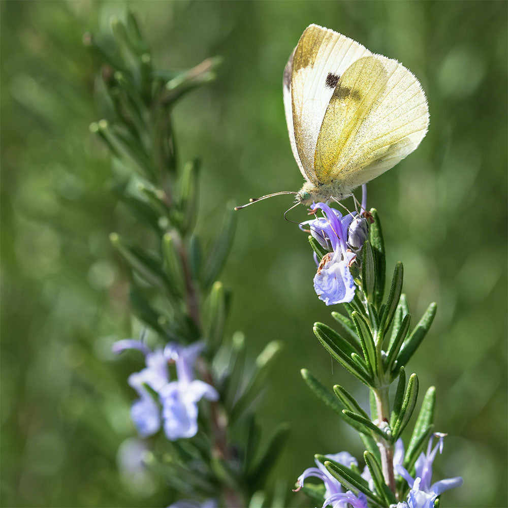 Medicinal Uses for Rosemary