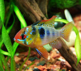 Blue German Ram