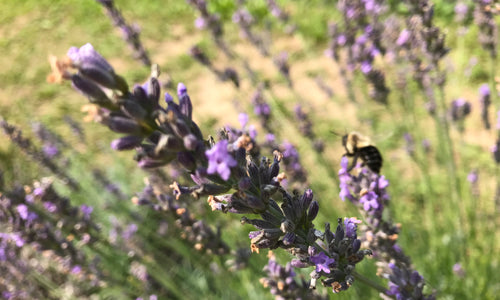What You Need to Know About Organic Farming and Bee Populations