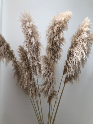NATURAL PAMPAS GRASS STEM - QLD Delivery Only