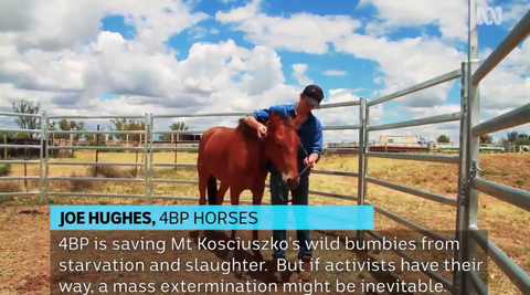Joe Hughes, 4BP Horses. 4BP is saving Mt Kosciuszko's wild brumbies from starvation and slaughter. But if activists have their way, a mass extermination might be inevitable.