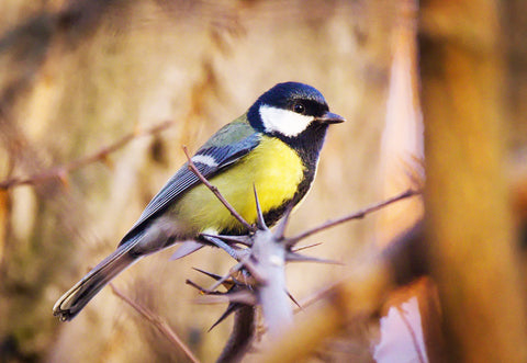 The UK great tit bird resting in the wild