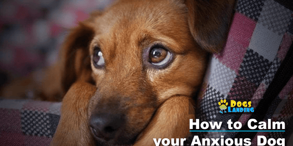 How to Calm Your Anxious Dog