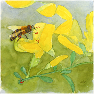 "Unframed Print  - ""Honeybee on Scotch Broom"""