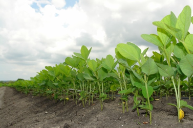 Soil Amendments in the Garden: The Benefits of Silica to Soybeans