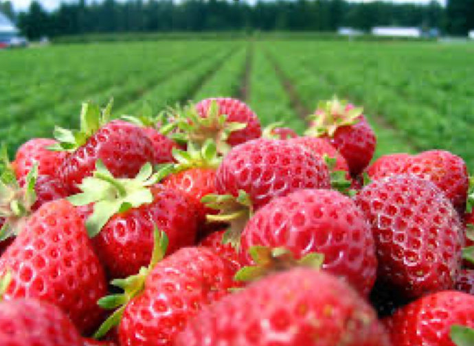 Nutrients for the Garden: Silica's Amazing Effect on Strawberries