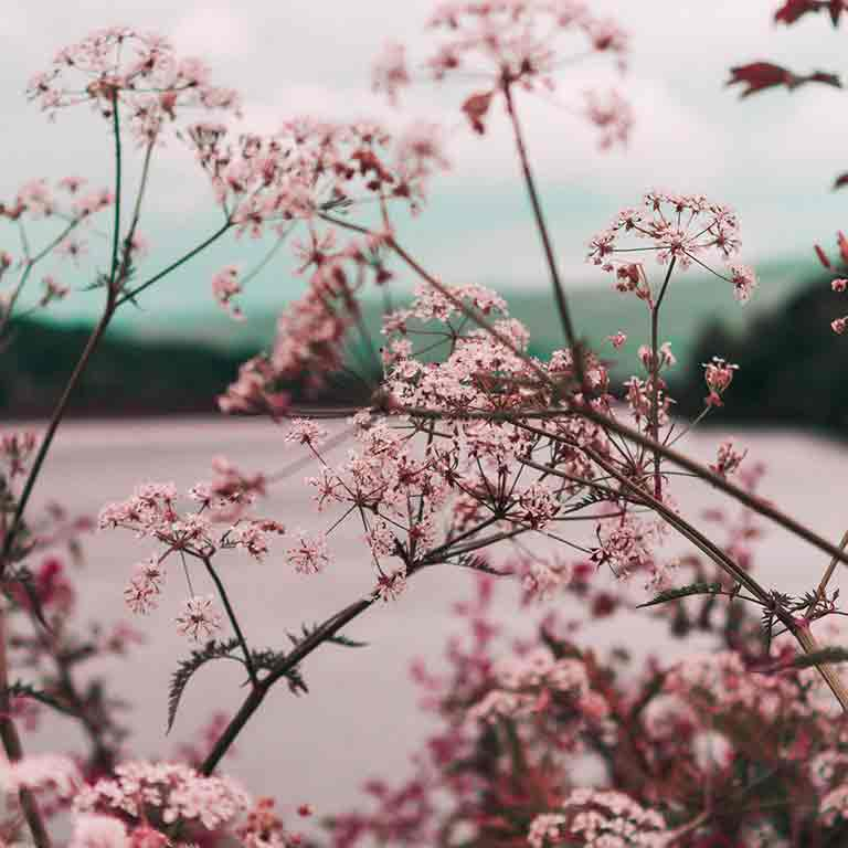 image of pink flowers mountainous lake