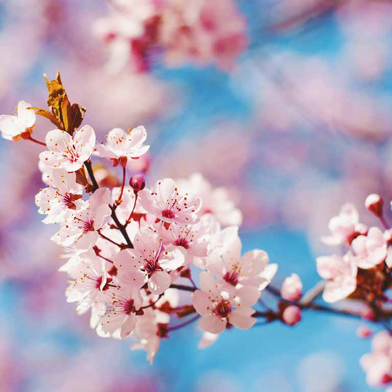 image of pink cherry blossoms with blue sky as a backdrop