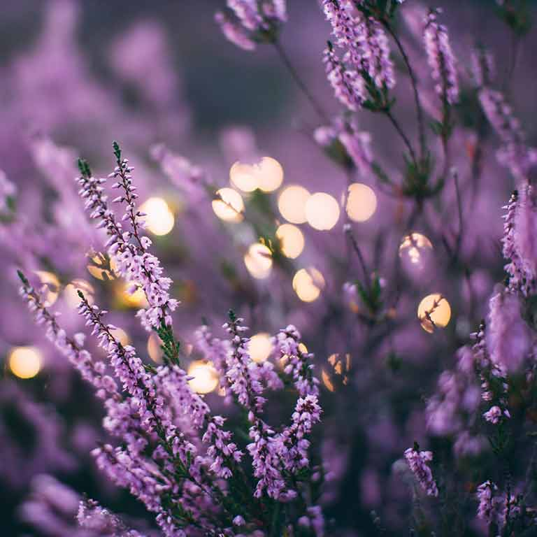 image of lavender flowers with bouquet background