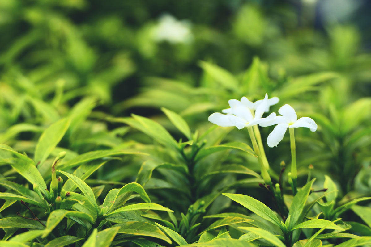 image of sprawling field of green tea with white flower